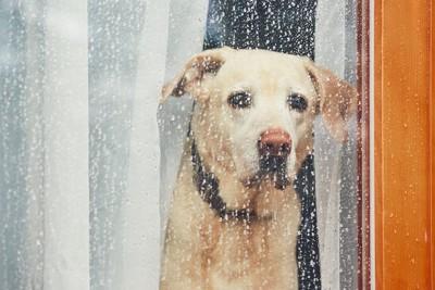 窓辺で外の雨を見る犬