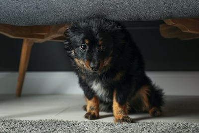 ソファの下で小さくなる子犬
