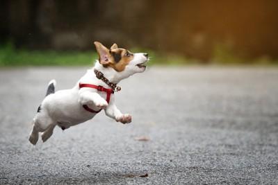ジャンプするコーギー犬
