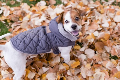 落ち葉の上で振り返る防寒着を着たジャックラッセルテリア