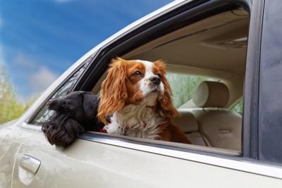 車の乗る2頭の犬