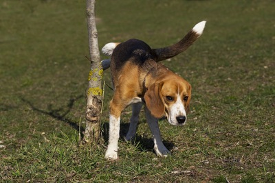 木にマーキングをするビーグル犬