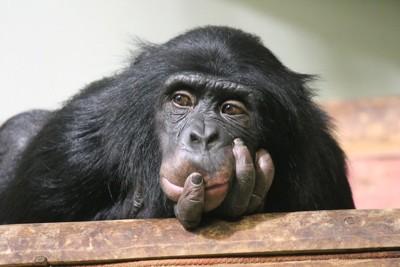 考えているチンパンジー