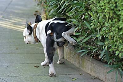 散歩中に垣根におしっこをする犬