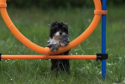 アジリティの用具に手をかける子犬