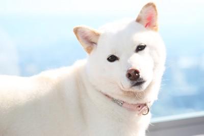 こちらを見つめる白い柴犬