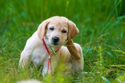 後ろ足で耳の後ろを掻いている犬