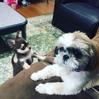 ソファーにシーズーとチワワ