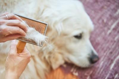 白い犬とブラシの抜け毛を持つ人の手