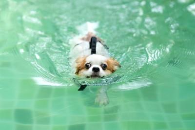 プールで泳いでいる犬