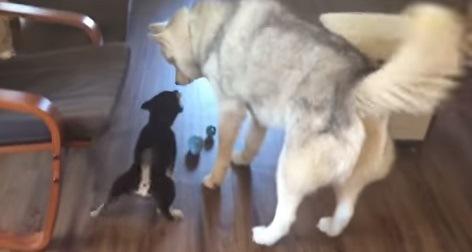 柴犬に吠えられているハスキー