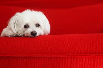 赤いソファーに乗る犬