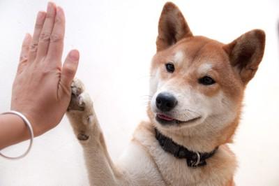 ハイタッチをする柴犬