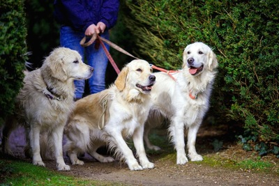 散歩する3匹の犬たち