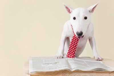 赤いネクタイをして新聞を読むブルテリア