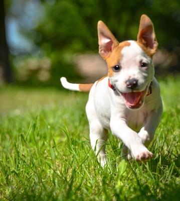 笑顔で走る子犬