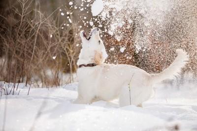 雪遊びしている犬