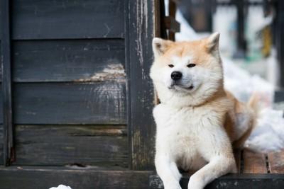 伏せている秋田犬