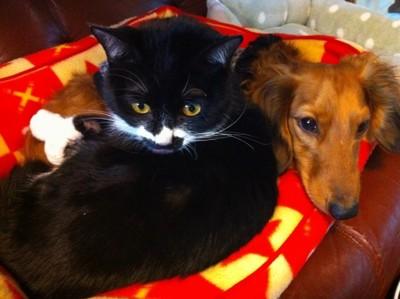 #ベッドで寝ているミニチュアダックスと猫#