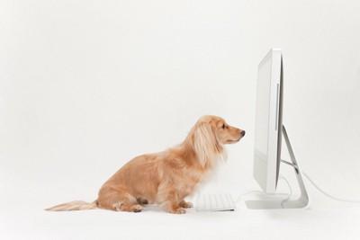 パソコンの画面を見つめるダックスフンド