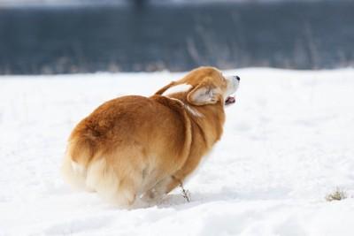 雪の上を走るコーギーの後ろ姿
