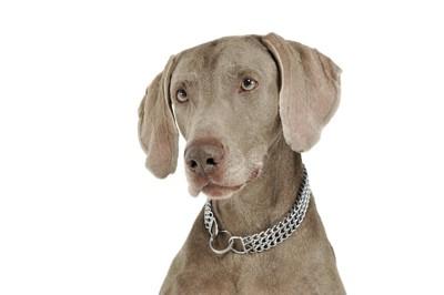 チェーンカラーを付けた犬