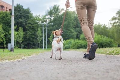 散歩するジャックラッセルと飼い主の後ろ姿