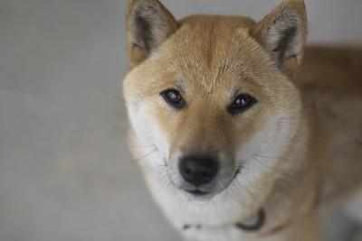 見上げる柴犬の顔のアップ