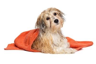 濡れている犬