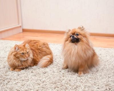 毛足の長いマットの上で寛ぐポメラニアンと猫