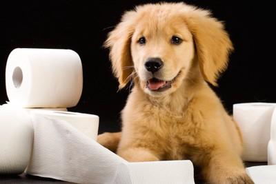トイレットペーパーで遊ぶ子犬