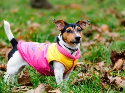 草むらの中を散歩する服を着た犬