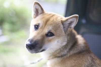 振り向くキツネ顔の柴犬(