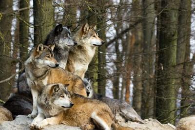 寄り添って同じ方向を見つめるオオカミの群れ