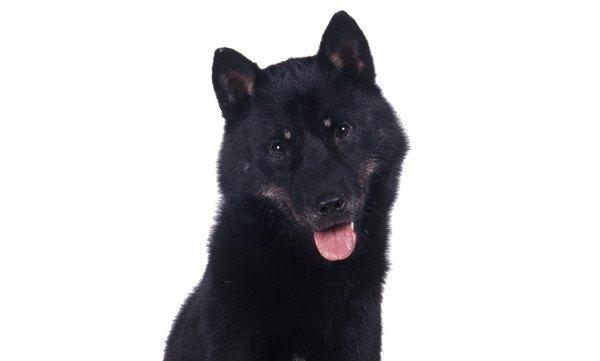 黒い北海道犬