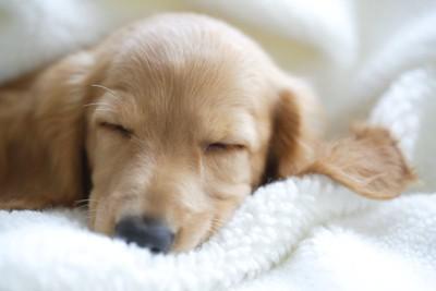 ぐっすりと眠っている子犬