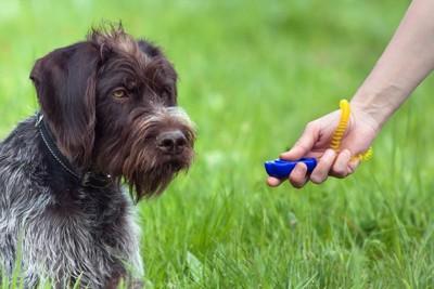 クリッカートレーニング中の犬