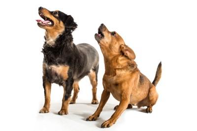 見上げて吠える2匹の犬