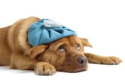 氷枕を頭に乗せ上目遣いをしながら伸びている犬