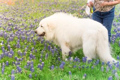 花畑を歩くグレートピレニーズ