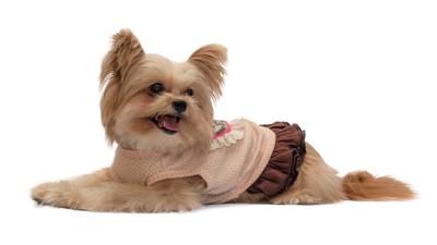フセをしているワンピースを着た犬