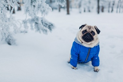 防寒服を着て散歩する犬