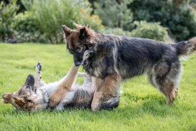 芝生の上でじゃれあう2匹の犬