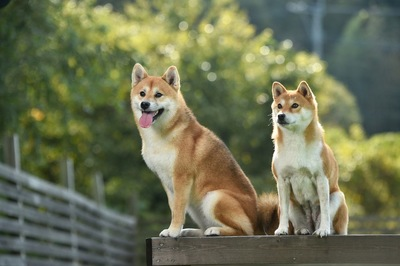 2匹で並ぶ柴犬