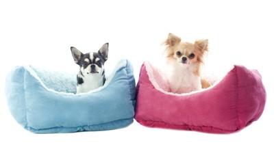 ピンクと青のベッドに座るチワワ