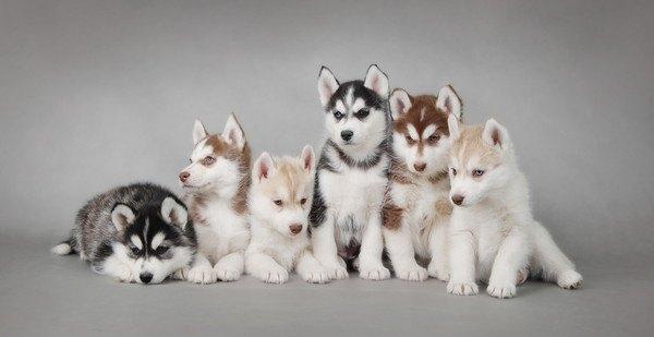 シベリアンハスキーの子犬6匹