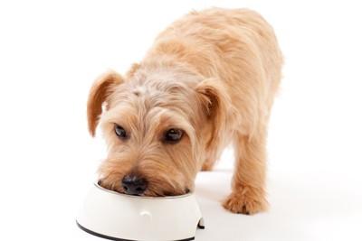 ご飯を食べる子犬