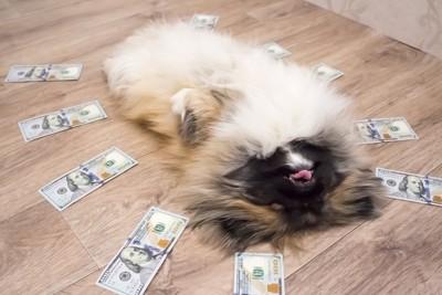 お金を並べた床に寝転ぶ犬