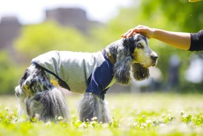 芝生の上で飼い主に撫でられている老犬