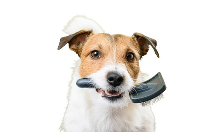 犬用のブラシを咥えた犬